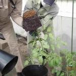 大きなトマトの根鉢