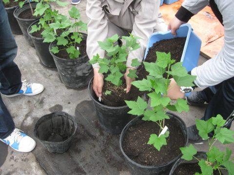 【画像】カシスの苗を小果樹用ポットに土を入れながら植え替えます