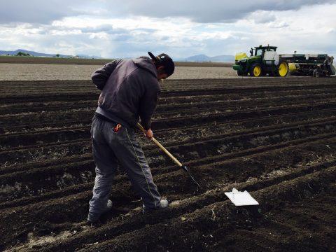 適正栽植道度か種芋確認作業
