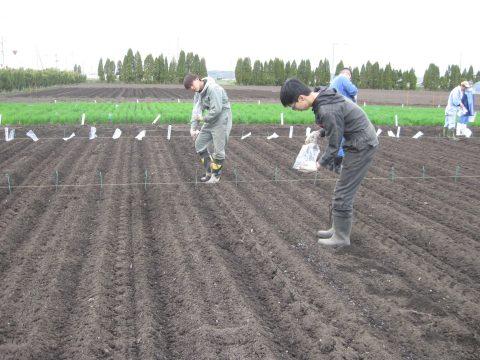 丁寧に肥料をまいていきます