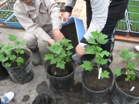 【画像】植え終わりに周りにやや多めの土を入れます