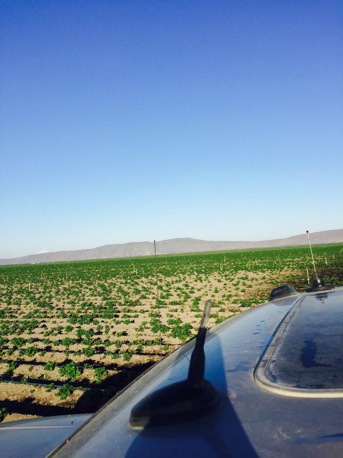【画像】定植後2週間のバレイショ畑