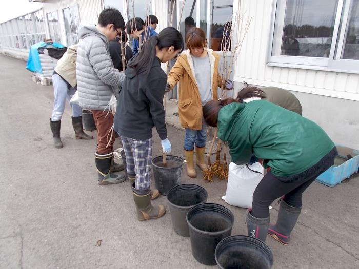 小果樹栽培葉の大型ポリ鉢に仮植します
