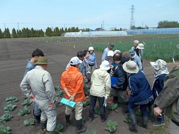 キャベツ畑ではモンシロチョウの卵や幼虫、大モンシロチョウの卵を確認しました。