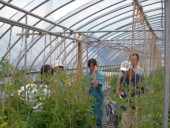 トマトの養液栽培における整枝方法についてはゼミ生から説明しました