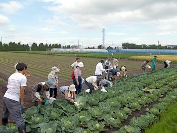 最後にキャベツの収穫体験です。ご苦労様でした。