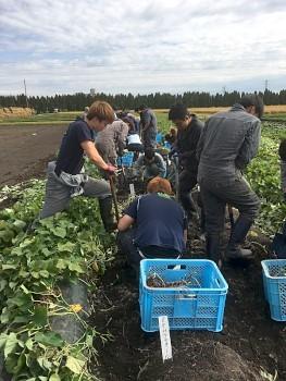 サツマイモを試験区に逢わせて掘りとります