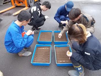 切った溝に1列60粒の籾を播いていきます
