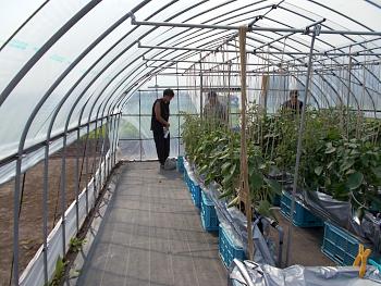 大玉トマトの養液栽培試験