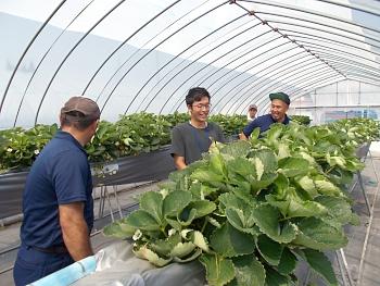 四季なりイチゴの高設栽培