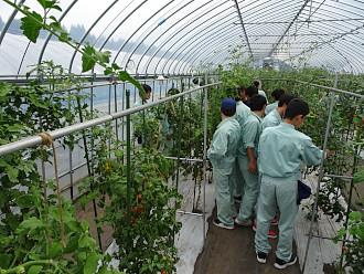 3班に分かれて体験学習を行いました。まずはミニトマト収穫体験です