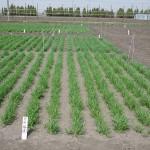 7昨年秋に播種した麦畑