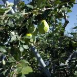 3 めずらしい果物も栽培